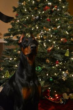 Christmas Doberman Pinscher Merry Christmas Card Puppy Holiday Dogs Santa Claus Dog Puppies Xmas