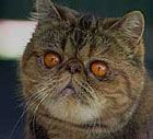 Exotic Shorthairs are happy, lively and outgoing cats. They are more athletic than the Persian and more sociable than the British Shorthair as well as being cuddly and affectionate.