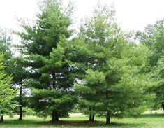 24 ideas eastern white pine tree evergreen for 2019 Privacy Plants, Privacy Landscaping, Landscaping With Rocks, Front Yard Landscaping, Privacy Hedge, Landscaping Ideas, Small Pine Trees, Evergreen Trees, White Oak Tree