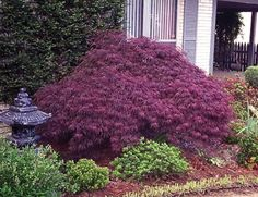 Acer palmatum dissectum Crimson Queen - Maple Japanese Laceleaf ...