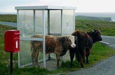 Koeien die op de bus wachten... Only in Scotland!