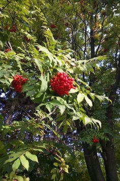 Japanese rowan (Sorbus commixta).  I've seen simular trees in Scotland, and I saw white fruits. ナナカマド。スコットランドで似た木を見たけど、白い実をつけてるのがあったっけ。