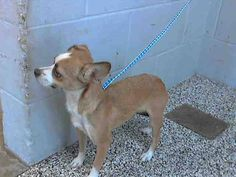 #A476550 Release date 12/12 I am a female, brown and white Chihuahua - Smooth Coated mix. Shelter staff think I am about 10 months old. I have been at the shelter since Dec 06, 2014.  City of San Bernardino Animal Control-Shelter. https://www.facebook.com/photo.php?fbid=10204079412363164&set=pb.1160364024.-2207520000.1417905608.&type=3&theater