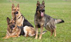 Three German Shepherds!
