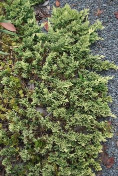 Mother Lode Juniper for sale buy Juniperus horizontalis 'Mother Lode' Evergreen Bush, Evergreen Shrubs, Rabbit Resistant Plants, Buy Plants Online, Rock Garden Plants, Night Garden, Hardy Perennials, Drought Tolerant Plants, Foliage Plants