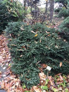 Picea abies Pumila Glauca/Ель обыкновенная Пумила Глаука.  Карликовый сорт ели. В молодом возрасте имеет шаровидную форму.  Ежегодный прирост 3-5 см в высоту и 6-8 см в ширину.  Во взрослом состояние достигает 1 метра в высоту и 3 в ширину.