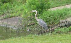 Heron June 7, 2012