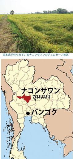 ナコンサワンで日本米を作る、「バンコクの料理店に安定供給させたい」
