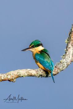 NZ Kingfisher Kingfisher Bird, Sea Birds, Bird Cage, Bird Feathers, Beautiful Birds, New Zealand, Stained Glass, Coastal, Wildlife