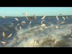 ▶ Battling the Asian Carp invasion - YouTube