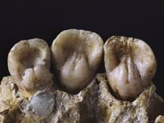 Neanderthal teeth reveal intimate details of daily life — National Geographic Neanderthal teeth reveal intimate details of daily life - Fresh Drinks Biological Anthropology, Mom Milk, European History, Ancient History, Pre History, History Facts, Ancient Art, Early Humans, Human Evolution