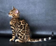 5 Conscious Hacks: Black And Orange Cat pretty cat orange.Beautiful Cat Breeds persian cat names. Cute Kittens, Cats And Kittens, Domestic Cat Breeds, Asian Leopard Cat, Cat Whiskers, Sleepy Cat, Wild Dogs, Norwegian Forest Cat, Grumpy Cat