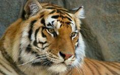 Preview wallpaper mustache, face, tiger, eyes, predator