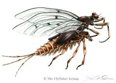 Mayfly: Gray Drake (Emerger)