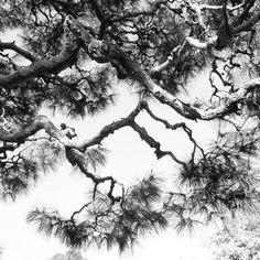 松の稲妻 Japan Japanese Pine Trees Thander Spring at 石橋文化センター Plant Fungus, Pine Tree, Tree Branches, Trees To Plant, Japanese, Lights, Black And White, Spring, Places