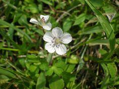 Genn-no-shouko (japanese name) /  Geranium thunbergii (scientific name)