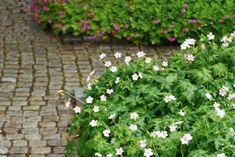 Kronnävan Geranium x oxonianum 'Rebecca Moss' bildar en tät låg matta som döljer jorden. Den bildar en fin kant mot stenläggningen där den försynt faller över den låga rabattkanten. Blommorna är näpet tvåfärgade i rosa och vitt som varierar från blomma till blomma. I bakgrunden den mer starkrosa flocknävan, G. macrorrhizum 'Pindus'.