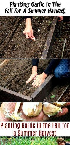 Planting Garlic In The Fall For A Summer Harvest - Damen Mode - Frisuren Planting Bulbs, Planting Flowers, Planting Garlic In Fall, Garlic Bulb, Garden Boxes, Autumn Garden, Shade Garden, Beautiful Gardens, Mother Nature