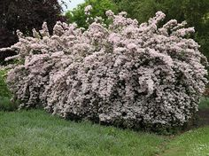 Buy beauty bush Kolkwitzia amabilis 'Pink Cloud': Delivery by Crocus