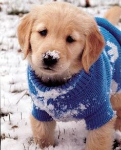 An adorable puppy wearing a blue sweater playing in the snow!