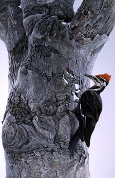 Pileated Woodpecker on Beech Tree by Robert Bateman