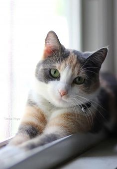 , Dilute Calico Cats Cats And Kittens , Dilute calico cats Cute Cats And Kittens, I Love Cats, Cool Cats, Kittens Cutest, Crazy Cats, Ragdoll Kittens, Tabby Cats, Funny Kittens, Bengal Cats