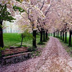 Spencer Smith Park, Burlington, Ontario during the spring. #blossoms #Canada #travel