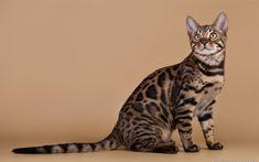 Download imagens California Spangled Cat, 4k, o gato doméstico, animais de estimação, gatos