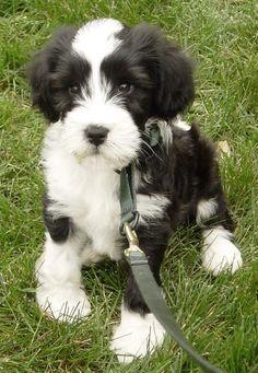 Newest breed on my list! Tibetan terrier L'Animalia