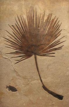 "Fossils - 78 1/2"" x 50"" Palm, 9 1/2"" Phareodus testis"