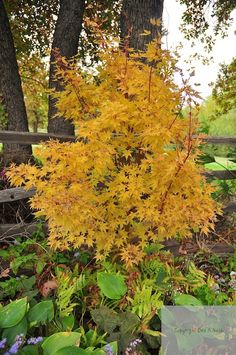 Acer palmatum 'Sango kaku' in the fall where its leaves become a caution light of color.
