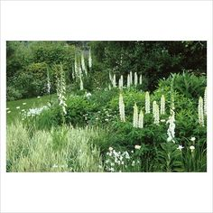 GAP Photos - Garden & Plant Picture Library - Single colour themed white border at Sticky Wicket. Lupinus 'Noble Maiden' with white foxgloves - Digitalis purpurea 'Alba' - GAP Photos - Specialising in horticultural photography