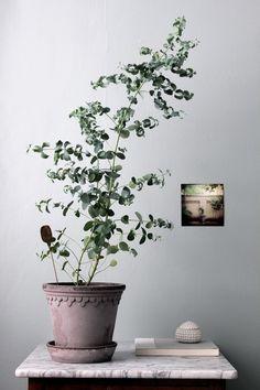 Eukalyptusträd gillar att stå i direkt soljus, kan planteras ut under sommarmånaderna ochbehöver regelbundnen vattning. Jag älskar de grågröna blad