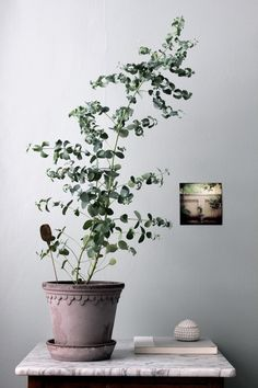 Eukalyptus. Photo: Johanna Bradford