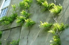 How to train climbing plants on a concrete wall. Wie man Kletterpflanzen an einer Betonwand ausbilde Wisteria Trellis, Wire Trellis, Wall Climbing Plants, Climbing Vines, Outdoor Landscaping, Outdoor Plants, Cable Acier, Fachada Colonial, Green Facade