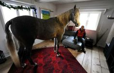 """Stephanie Arndt watches her Arabian horse, Nasar, enter the living room of her old farm house in Holt, northern Germany on February 10, 2014. The owner of the horse, medical doctor Stephanie Arndt, took the three-year-old inside the house while hurricane """"Xaver"""" swept over the region. Since then Nasar like to stay indoors."""