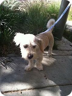 Pittsburg, CA - Cockapoo/Spaniel (Unknown Type) Mix. Meet Barbara Pewterschmidt, a dog for adoption. http://www.adoptapet.com/pet/11664900-pittsburg-california-cockapoo-mix