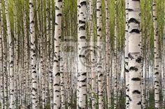 Fotobehang berkenbos, boom, spring - birch trees ✓ Makkelijke montage ✓ 100% ecologisch afgedrukt ✓ Bekijk de opinies van onze klanten!