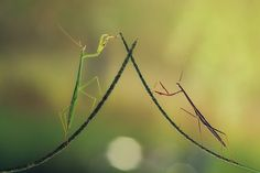 Mantises Mate