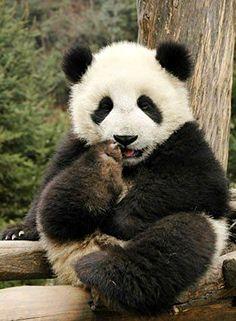Cute Panda trimming it's Toe-Nails - the wrong way LOL