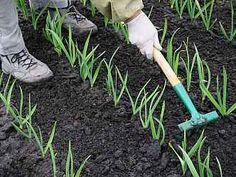 obrázek z archivu ireceptar.cz Garden Tools, Planters, Flowers, Gardening, Garlic, Spring, Grow Tomatoes, Bird Bath Garden, Plants