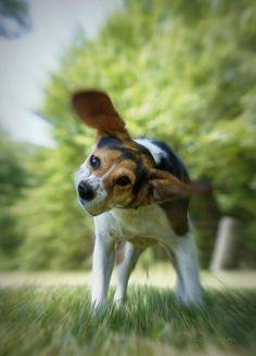 """Shake Shake Shake"" -- A beagle's quick, floppy-eared shake makes everything better! Beagle Art, Baby Beagle, Beagle Puppies, Puppies And Kitties, Cute Puppies, Doggies, Corgi, Photography Booth, Rabbit Hunting"