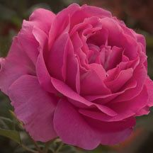 Grande Dame Hybrid Tea Rose | Hybrid Tea Roses | Edmunds' Roses A glorious modern rose with all the advantages of natural vigor, abundant flowers and exceptional disease resistance, while still retaining the romance of old rose style and fragrance.