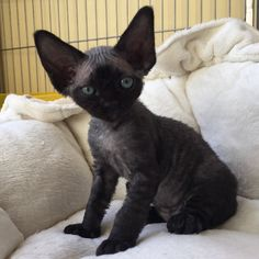 Lucifer - Devon Rex                                                       …                                                                                                                                                                                 Plus