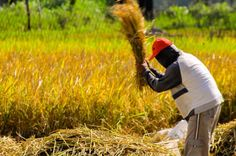 Traditional way to produce rice from paddy field