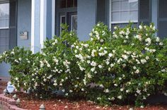 5 Tips on Caring for a Gardenia Bush | Cottages and Flowers ...