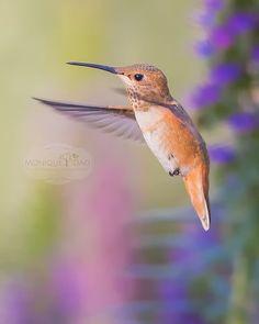 Springtime Hummingbird in Flight  Purple Pink by MoniqueDaoPhoto