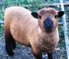 Olde English Babydoll Sheep...isn't she cute?