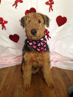 Our 5 month old airedale terrier Fisher on his first Valentine's Day 2015!