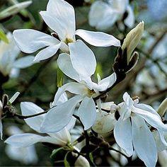 Magnolia 'Wada's Memory' Zon 1-4